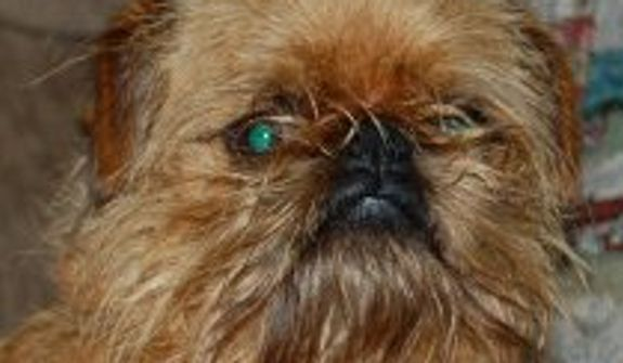 Sputnick loves everybody! Sputnick is a 2 year old Brussels Griffon. (Credit: World's Ugliest Dog Competition)