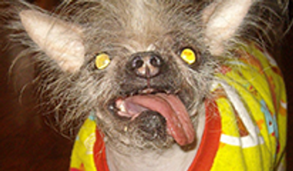 Squiggy is a 20 lb Chinese Crested/Japanese Chin mix. (Credit: World's Ugliest Dog Competition)