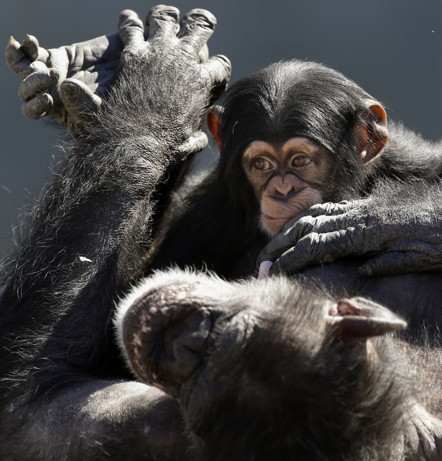** FILE ** A mother chimpanzee relaxes with her baby at Chimp Haven in Keithville, La., on Tuesday, Feb. 19, 2013. The Fish and Wildlife Service says it wants to protect chimpanzees as endangered both in captivity and in the wild, a move that could affect the use of chimps in medical research. (AP Photo/Gerald Herbert)