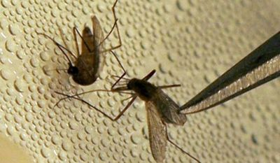 ** FILE ** In this Friday, May 11, 2007, photo, a mosquito is sorted according to species and gender before testing for West Nile Virus at the Dallas County mosquito lab in Dallas. Scientists have been working on mathematical models to predict outbreaks for decades and have long factored in the weather. (AP Photo/LM Otero, File)