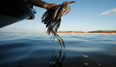 ** FILE ** Plaquemines Parish Coastal Zone Director P.J. Hahn rescues a heavily oiled bird from the waters of Barataria Bay, which are laden with oil from the Deepwater Horizon oil spill, in Barataria Bay, La., on June 26, 2010. (AP Photo/Gerald Herbert)