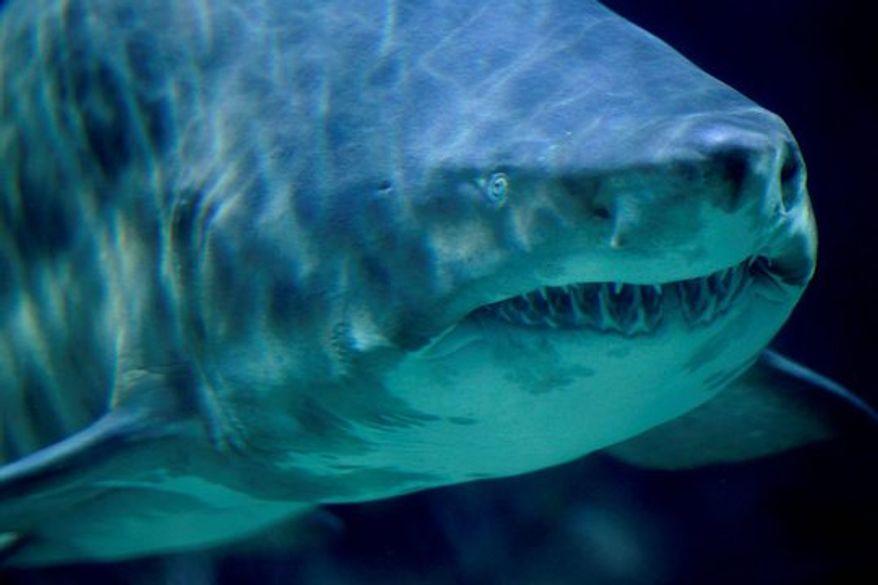 ** FILE ** Sand Tiger Shark (AP Photo/Michael Sohn)