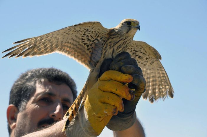 A Turkish man is set to release into the air a bird of prey found in a village in the eastern Turkish province of Elazig on Friday, July 26, 2013. The kestrel was cleared of suspicion that it was aiding Israeli spies. (AP Photo/Gulbin Yildiz, DHA)