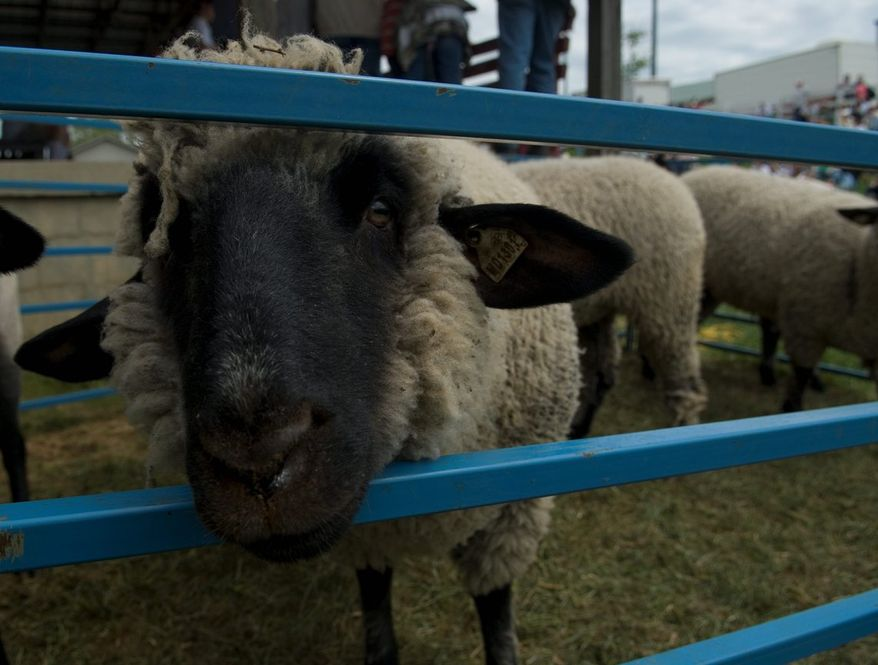 A Black-Faced Shropshire awaits shearing the Maryland Sheep and Wool Festival at the Howard County Fairgrounds in West Friendship, Md., on Saturday, May 5, 2007. (J.M. Eddins Jr. / The Washington Times)