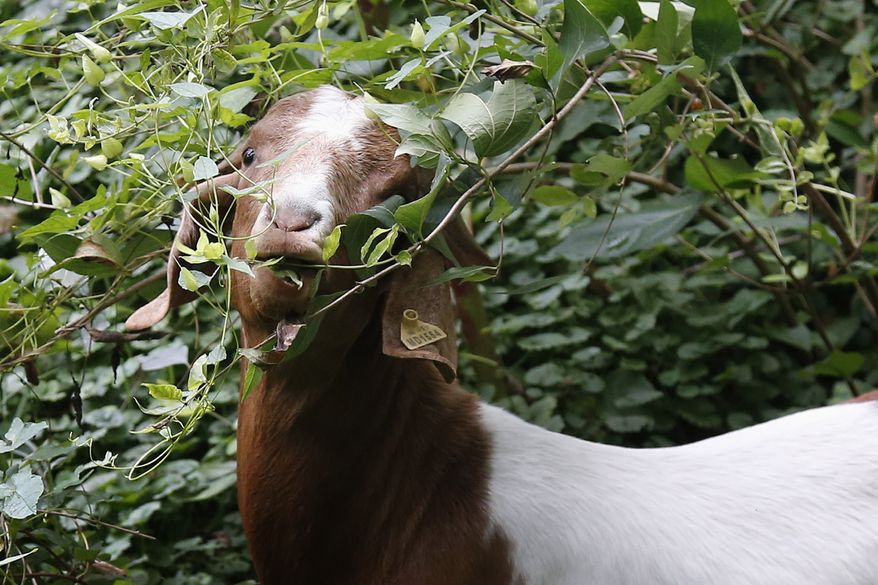 """A goat grazes in the brush in a fenced off area at Congressional Cemetery in Washington, Wednesday, Aug. 7, 2013. More than 100 goats will be taking over Washington's Historic Congressional Cemetery to help clean up brush in an area away from the graves. The goats will graze 24 hours a day for six days to eliminate vines, poison ivy and weeds, while also """"fertilizing the ground."""" (AP Photo/Charles Dharapak)"""