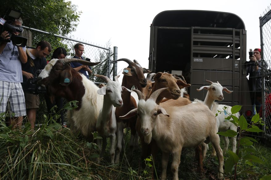 """Reporters photograph """"Eco-Goats"""" as they are released from a trailer at Congressional Cemetery in Washington, Wednesday, Aug. 7, 2013. More than 100 goats will be taking over Washington's Historic Congressional Cemetery to help clean up brush in an area away from the graves. The goats will graze 24 hours a day for six days to eliminate vines, poison ivy and weeds, while also """"fertilizing the ground."""" (AP Photo/Charles Dharapak)"""