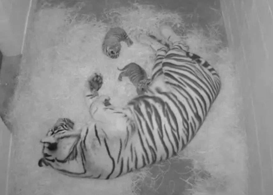 Two Sumatran tiger cubs were born at the Smithsonian National Zoo (Photo courtesy of Smithsonian National Zoo)