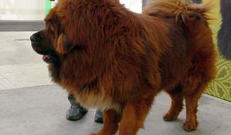 ** FILE ** Chinese-bred Tibetan mastiff. (Screen grab from Wikipedia)