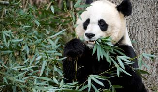 Mei Xiang, like the pandas at other zoos in the United States, is always a popular attraction and interest has risen since she gave birth at the National Zoo to a cub Aug. 23. Zookeepers have yet to have a second look at the cub since its initial physical. (Associated Press)