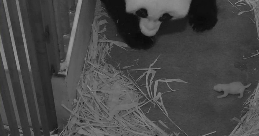 This handout photo provided by the Smithsonian's National Zoo, taken Aug. 29, 2013, shows teh zoo's Panda mother Mei Xiang with her cub at the zoo in Washington. The zoo said Thursday its 2-week-old giant panda cub is female. The Washington zoo also revealed Thursday that the cub's father is National Zoo panda Tian Tian. (AP Photo/Smithsonian's National Zoo)