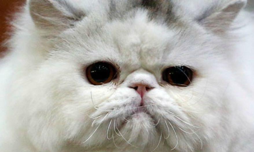 ** FILE ** A Persian cat. (Associated Press)