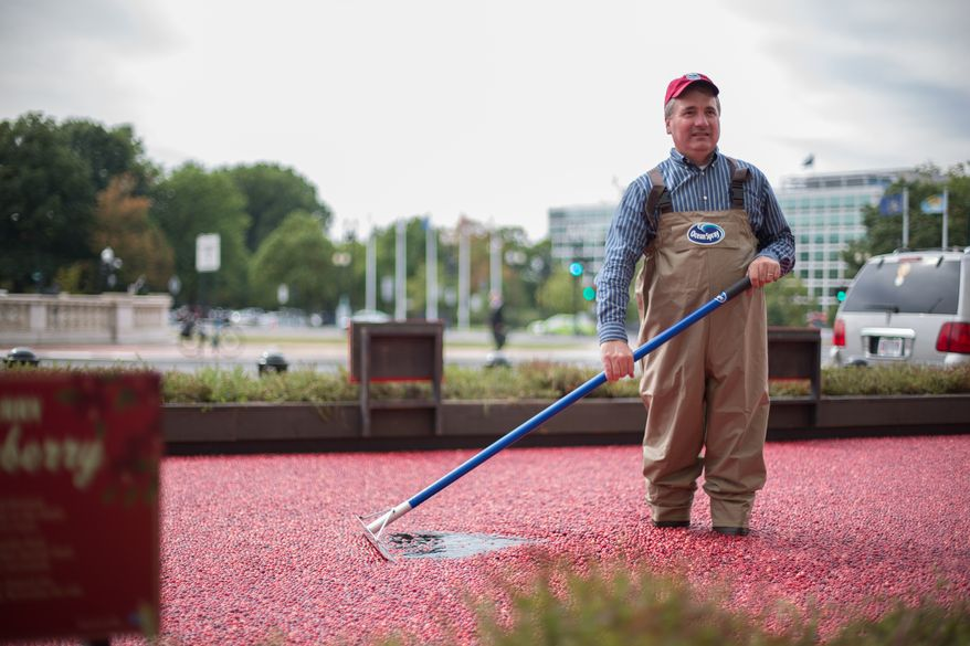 Jeff Lafleur, 45, and a Cranberry Farmer from Massachusetts,  uses a cranberry rake to move cranberries around in a man made bog, during an informational exhibit on cranberries, presented by Ocean Spray, outside of Union Station in Washington, DC., Tuesday, October 8, 2013.  (Andrew S Geraci/The Washington Times)