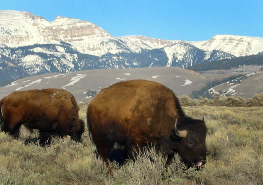 **FILE** Bison graze in the National Elk Refuge near the Grovs Ventre Wilderness Area's Sheep Mountain, seen in the background, on April 24, 2002. (Associated Press)