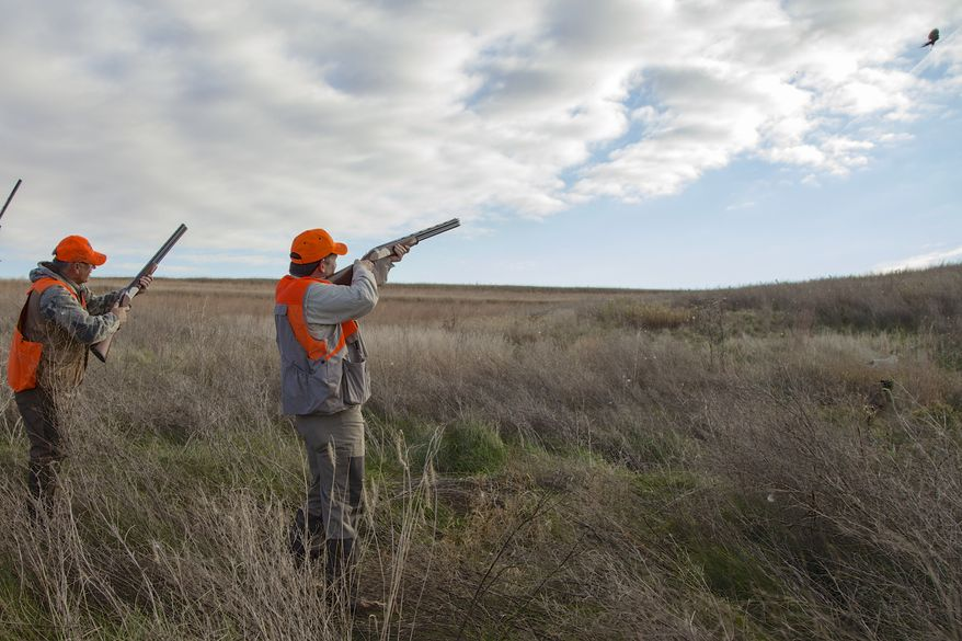 Sen. Ted Cruz, R-Texas, shoots at a pheasant during a hunt hosted by Rep. Steve King, R-Iowa, on Saturday, Oct. 26, 2013, in Akron, Iowa. Cruz attended the Iowa GOP's annual fundraising dinner in Des Moines on Friday. (AP Photo/Nati Harnik)