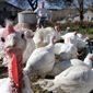 In this photo taken Tuesday, Oct. 29, 2013, Joe Morette watches as his flock of turkeys drink beer from the trough in Henniker, N.H. Morette says that birds are just like humans and get beer bellies and insists it makes them fatter, more flavorful, and juicer. (AP Photo/Jim Cole)