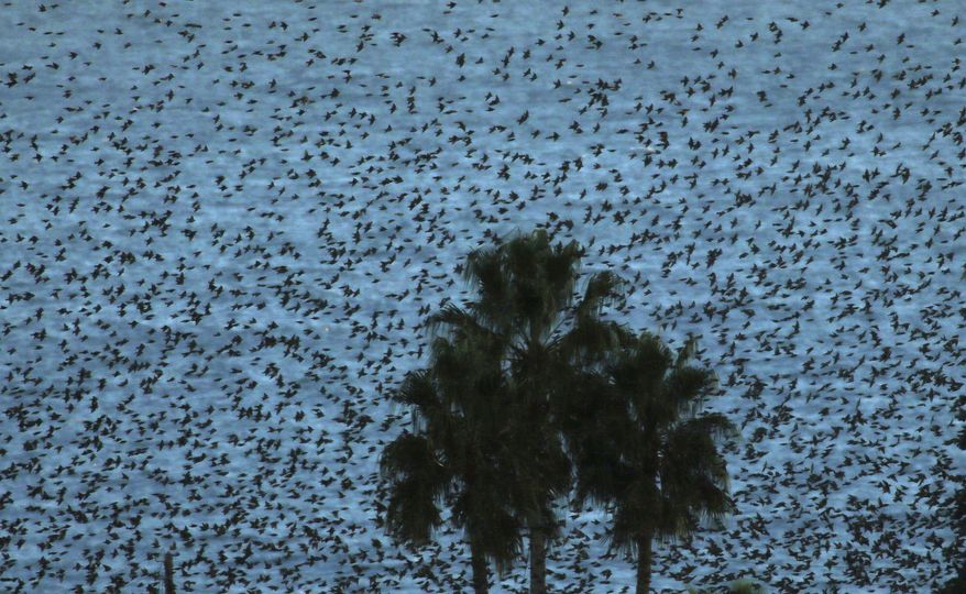 A flock of Common Starlings flies above the mediterranean sea in Nice, southern France, Wednesday, Nov.20, 2013.The Common Starling is resident in southern and western Europe and southwestern Asia, while northeastern populations migrate south and west in winter within the breeding range and also further south to Iberia and north Africa.(AP Photo/Lionel Cironneau)