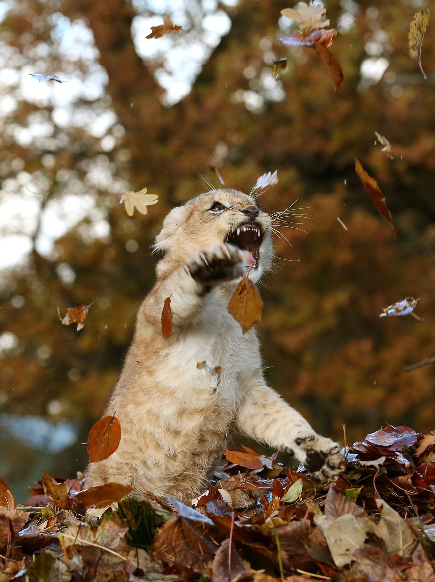 Karis, an eleven week old lion cub, plays in fallen leaves brushed up by keepers in her enclosure at Blair Drummond Safari Park, near Stirling, central Scotland, Wednesday Nov. 20, 2013. (AP Photo/PA, Andrew Milligan) UNITED KINGDOM OUT  NO SALES  NO ARCHIVE