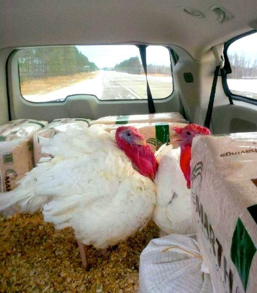 """While President Obama jets around the West Coast, the official White House Thanksgiving turkeys are on their way to Washington to be """"pardoned""""; they ride upon cedar shavings in their own van. (Minnesota Turkey Federation)"""