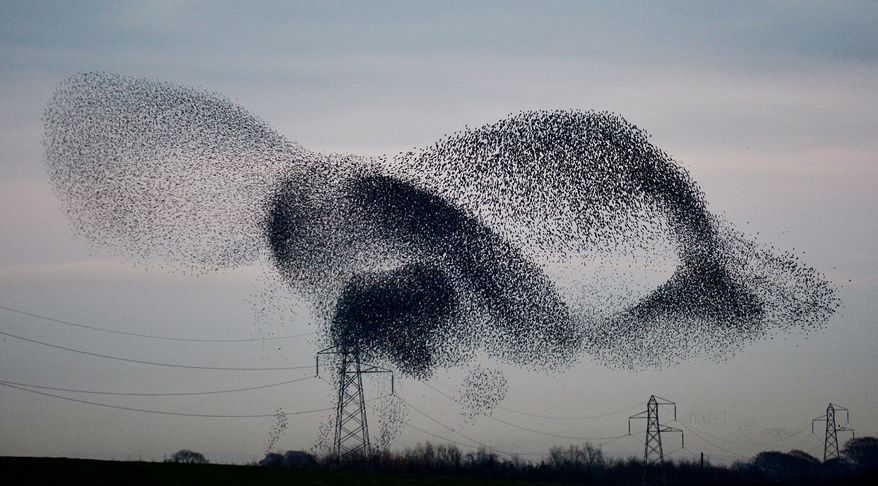 A murmuration of starlings on display over the town of Gretna, Scotland, Monday Nov. 25, 2013. The starlings visit the area twice a year in the months of February and November. (AP Photo/PA, Owen Humphreys) UNITED KINGDOM OUT  NO SALES  NO ARCHIVE