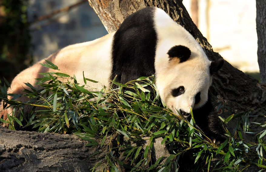 Brian Cannon unloads fresh bamboo for the pandas at the National Zoo. Mei Xiang and Tian Tian eat up to 150 pounds of bamboo every day, soon to be joined by their cub. (Andrew Harnik/The Washington Times)