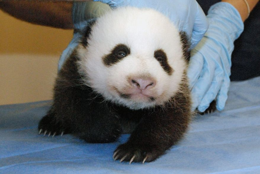 The National Zoo's giant panda cub undergoes one of her first exams in October. She will be named Sunday. (NATIONAL ZOO)