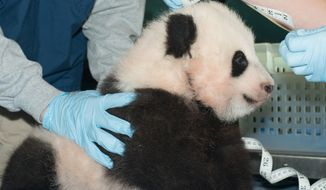 The female giant panda cub at the Smithsonian's National Zoo is measured on Friday, Nov. 29, 2013, in Washington. (AP Photo/Smithsonian's National Zoo, Abby Wood)