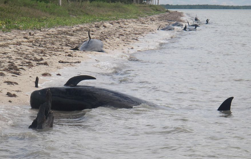 In this Tuesday, Dec. 3, 2013, photo provided by the National Park Service, pilot whales are stranded on a beach in a remote area of the western portion of Everglades National Park, Fla. Federal officials said some whales have died. The marine mammals are known to normally inhabit deep water. (AP Photo/National Park Service)