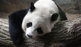 **FILE** Po, a 2-year-old giant panda, takes a rest inside an exhibit at Zoo Atlanta on July 2, 2013. (Associated Press)