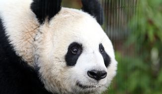 Giant panda named Tian Tian, is seen exploring her  enclosure at Edinburgh Zoo in Edinburgh, Scotland Monday, Dec 16, 2013. Giant pandas Tian Tian and Yang Guang are expecting to be seen by their one millionth visitor over the Christmas period.   (AP Photo/Scott Heppell)
