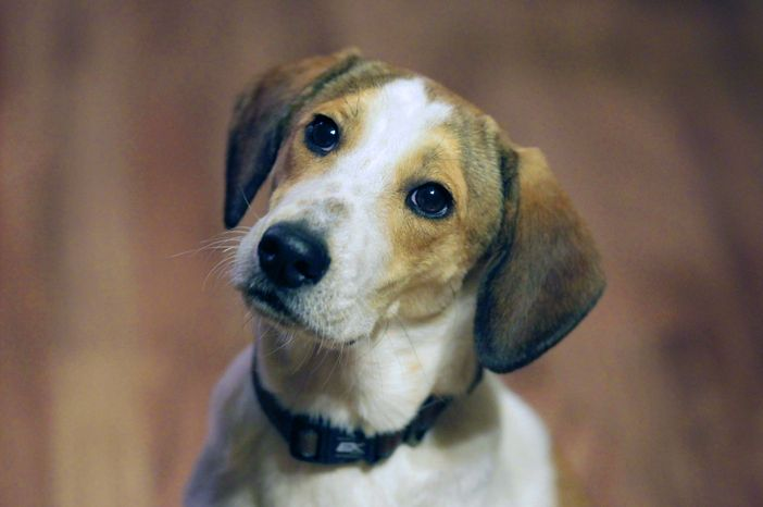 """** FILE ** In this Oct. 28, 2011, file photo, Daniel, who is better known as the """"Miracle Dog"""", waits for a treat in the home of Mark and Jill Pavlik in Rochelle Park, N.J., where he was being fostered upon his arrival in the state. The stray beagle mix, who walked out unscathed from the carbon monoxide administered by the Animal Control Department in Florence, Ala., will be among eight shelter dogs riding on a float in the Rose Parade in Pasadena, Calif., on New Year's Day. (AP Photo/Julio Cortez, File)"""