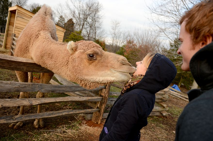 Darren Murphy, right, watches as his girlfriend, Janetta Deppa of Washington, D.C. is greeted by Aladin the Camel as part of Christmas at George Washington's Mount Vernon, Mount Vernon, Va., Monday, December 16, 2013. Mount Vernon celebrates Christmas with Christmas trees, 18th-century chocolate making, Christmas dancing and story telling, as well as Aladin the Camel. (Andrew Harnik/The Washington Times)