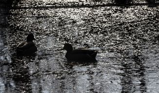 Ducks swim in a pond in a Milan park, Italy, Friday, Dec. 27, 2013. (AP Photo/Luca Bruno)