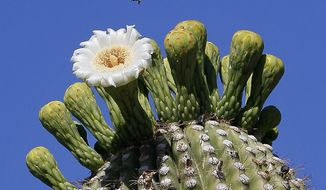 Desert beauty: The saguaro cactus grows only in the Sonoran Desert in southern Arizona and Mexico. It flowers in late spring. (Associated Press)