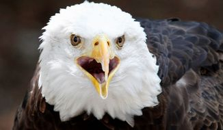 "Killing a bald eagle is a federal offense. ""A regular person cannot take, harm or capture a bald eagle,"" said Candus Thompson, Maryland Department of Natural Resources Police spokeswoman. Two bald eagles were shot dead recently in Montgomery County. (associated press)"