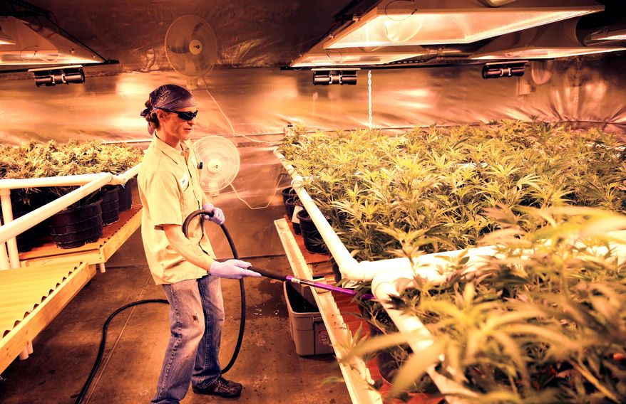 "An employee waters pot plants that will be harvested, packaged and sold at Medicine Man marijuana dispensary in Denver. Colorado is making final preparations for marijuana sales to begin on Wednesday, a day some are calling ""Green Wednesday."" (associated press photographs)"