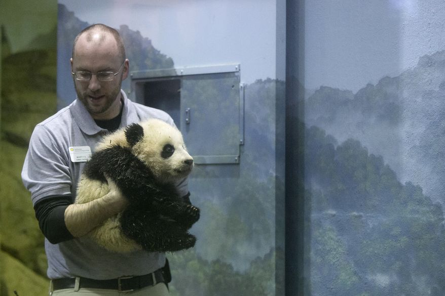 Animal keeper Marty Dearie carries Bao Bao, the four and a half month old giant panda cub, as she makes her public debut at an indoor habitat at the National Zoo in Washington, Monday, Jan. 6, 2014. Bao Bao, who now weighs 16.9 pounds (7.65 kilograms), was born to the zoo's female giant panda Mei Xiang and male giant panda Tian Tian. (AP Photo/Charles Dharapak)