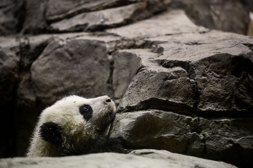 Bao Bao, a 4 1/2 month old giant panda cub weighing in at just under 17 pounds, explores the giant panda indoor habitat at the National Zoo, Washington, D.C., Monday, January 6, 2014. (Andrew Harnik/The Washington Times)