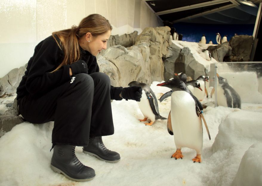 ** FILE ** In this photo released by Tennis Australia, Swiss tennis player Belinda Bencic cools with penguins at the Melbourne Aquarium as temperatures topped at 43 C (108 F) at the Australian Open tennis championship in Melbourne, Australia, Tuesday, Jan. 14, 2014. (AP Photo/Tennis Australia, Fiona Hamilton)