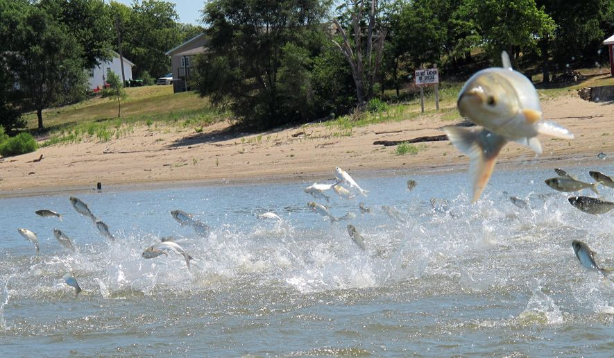 FILE - In this June 13, 2012 file photo, an Asian carp, jolted by an electric current from a research boat, jump from the Illinois River near Havana, Ill., during a study on the fish's population. Bowhunters are being invited to shoot as many Asian carp as possible in a competition planned for July 2014 on the Illinois River in central Illinois. Organizers are planning the first Flying Fish Festival and Bowfishing Tournament for July 11 and 12, with a sporting goods store as lead sponsor.  (AP Photo/John Flesher, File)