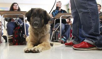 FOR RELEASE SUNDAY, JANUARY 19, 2014, AT 12:01 A.M. CST.-Tango a 4 year old Leonberger sits at the feet of her owner D'Nae Wilson while she teaches the Mutt-I-Grees Class at Levelland Middle School Wednesday Jan. 15, 2014. Wilson uses the dog to help teach the class. (AP Photo/Lubbock Avalanche-Journal, Stephen Spillman)