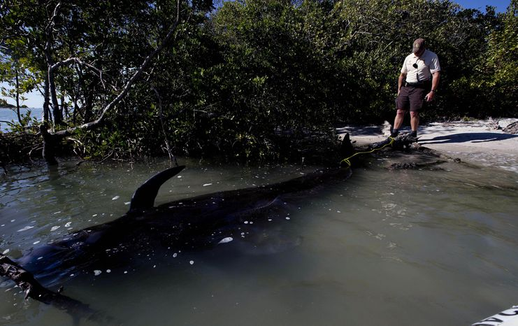 A park ranger watches over a dead pilot whale that stranded itself with several others in News Pass south of Lover's Key on Monday, Jan. 20, 2014, in Lee County, Fla.  Two pilot whales died and a third would be euthanized after roughly four dozen whales swam into shallow waters off southwest Florida on Monday, wildlife officials said. (AP Photo/The News-Press, Andrew West)  MAGS OUT; NAPLES OUT;  NO SALES