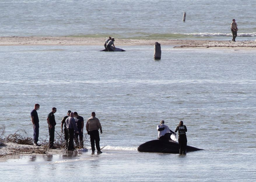 A beached pilot whale is tended to on New Pass south of Lover's Key on Monday, Jan. 20, 2014, in Lee County, Fla.  Two pilot whales died and a third would be euthanized after roughly four dozen whales swam into shallow waters off southwest Florida on Monday, wildlife officials said. (AP Photo/The News-Press, Andrew West)  MAGS OUT; NAPLES OUT;  NO SALES