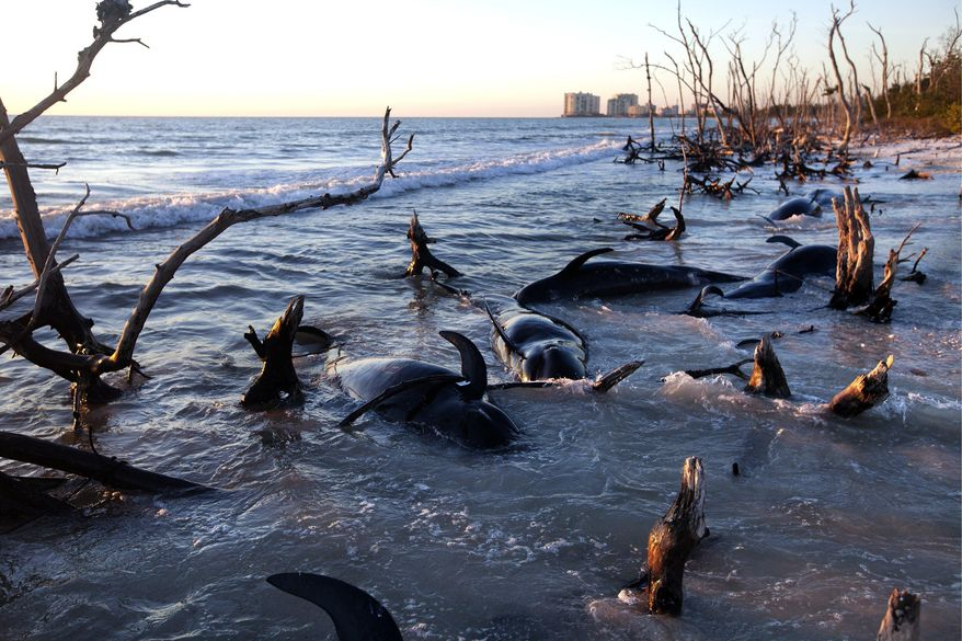 Twenty-five dead pilot whales discovered along the shore of Kice Island on Thursday, Jan. 23, 2014 await National Oceanic and Atmospheric Administration researchers, who will perform necropsies on Friday. At least 33 pilot whales have been found dead in the area since Sunday. (AP Photo/Naples Daily News, Carolina Hidalgo)