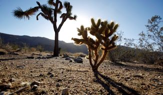 In this Nov. 8, 2010 photo, a seedling Joshua tree, right, grows in the shadow of a mature tree at a site proposed for wind turbines to generate electricity, in the Mojave Desert near the town of Apple Valley, Calif. Fears that whirling wind turbines could slaughter protected golden eagles have halted progress on a key piece of the federal government's push to increase renewable energy on public lands, stalling plans for billions of dollars in wind farm developments. (AP Photo/Reed Saxon)