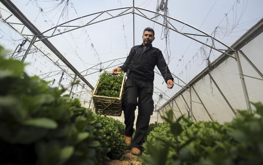 In this Sunday, Feb. 2, 2014 photo, a Palestinian collects mint at a farm in al-Qarara, Gaza Strip. Israel bars virtually all exports from Gaza, as part of punitive policies against the territory's ruling Islamic militant group Hamas, but makes an exception for some fresh produce, allowing export abroad, but not to Israel and the West Bank, traditionally Gaza's main market. Israel has cited security reasons for its export restrictions, but critics say that once goods are allowed out of Gaza after having undergone security checks, there's no reason to limit the destinations they can be sent to. (AP Photo/Hatem Moussa)