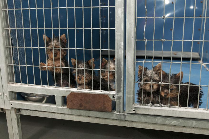 In this Monday, Feb. 3, 2014 photo, rescued Yorkshire terrier puppies peer out from their enclosure at Lied Animal Shelter in Las Vegas where 27 puppies were taken after a fire at Gloria Lee's Prince and Princess Pet Boutique. Lee, 35, is facing charges of arson following the fire. All the puppies were rescued from the fire. (AP Photo/Las Vegas Review-Journal, Erik Verduzco) LOCAL TV OUT; LOCAL INTERNET OUT; LAS VEGAS SUN OUT