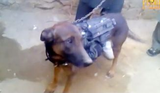 Taliban video shows captured dog allegedly belonging to the U.S. military.