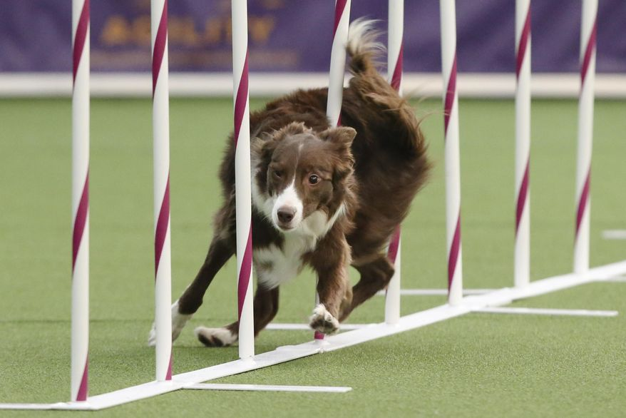 Elf, a Border Collie, runs the weave pole at the  first annual Masters Agility Championship the Westminster Kennel Club staged at Pier 94, Saturday, Feb. 8, 2014, in New York. The competitors span 63 different breeds, from tiny papillons and toy poodles to such big dogs as Doberman pinschers and Rottweilers.  (AP Photo/John Minchillo)