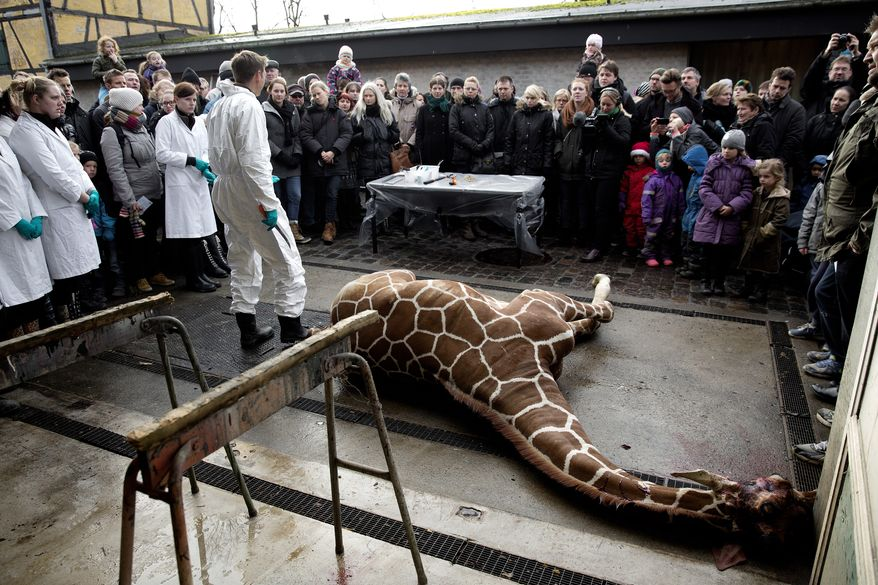 Marius, a male giraffe, lies dead before being dissected, after he was put down at Copenhagen Zoo on Sunday, Feb. 9, 2014. Copenhagen Zoo turned down offers from other zoos and 500,000 euros ($680,000) from a private individual to save the life of a healthy giraffe before killing and slaughtering it Sunday to follow inbreeding recommendations made by a European association. The 2-year-old male giraffe, named Marius, was put down using a bolt pistol and its meat will be fed to carnivores at the zoo, spokesman Tobias Stenbaek Bro said. Visitors, including children, were invited to watch while the giraffe was dissected. (AP Photo/POLFOTO, Peter Hove Olesen)  DENMARK OUT