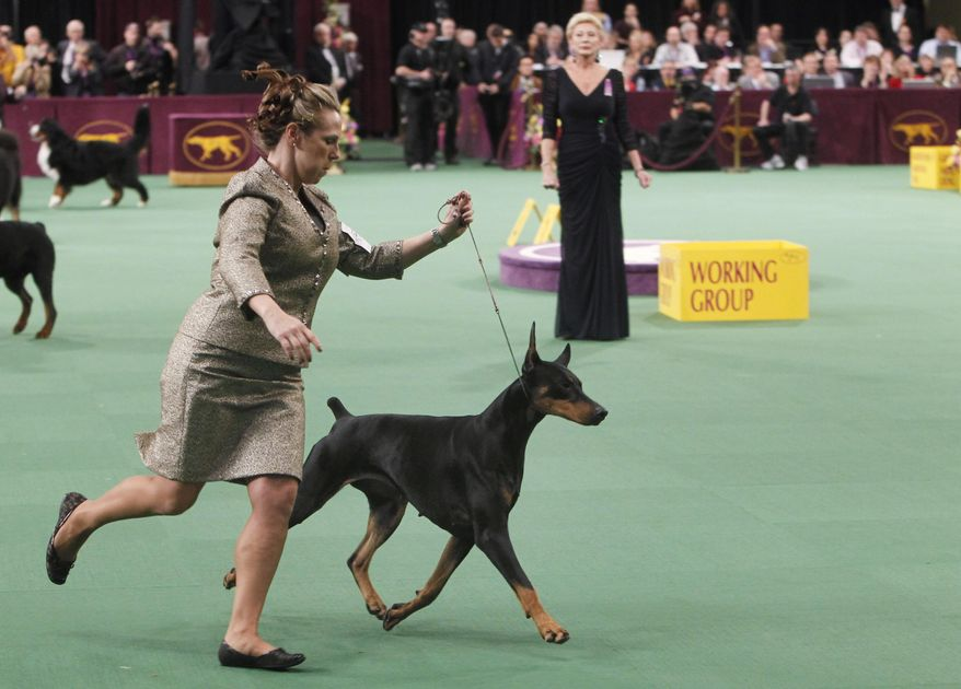 FILE - In this Feb. 14, 2012 file photo, Veni Vidi Vici, a Doberman pinscher, competes in the working group, which she later won, during the 136th annual Westminster Kennel Club dog show in New York. (AP Photo/Jason DeCrow, File)